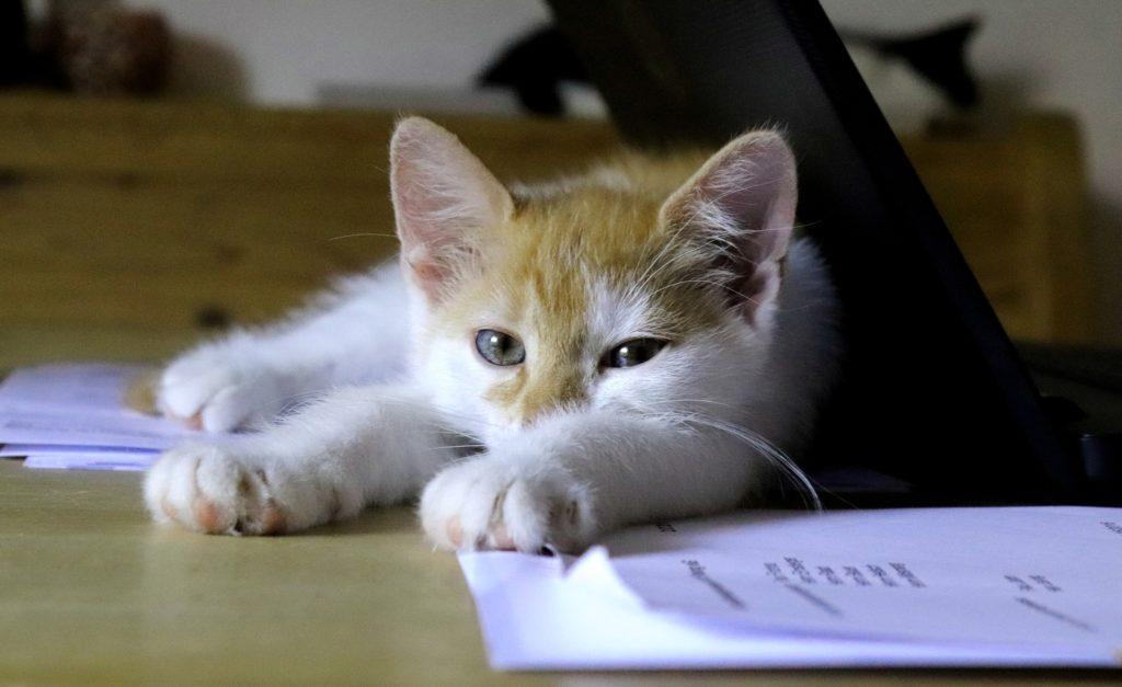 Süße Katze liegt auf Laptop und Papier